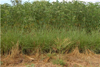 Tephrosia fallow & Vetiver Hedges